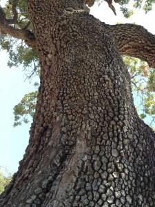burdell oak