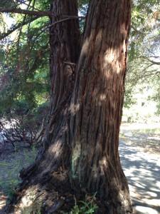 double redwood ragle