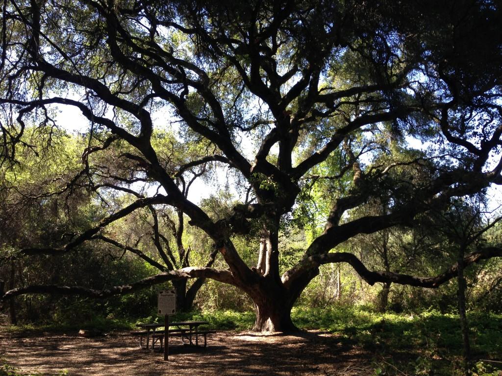 grandmother oak 2