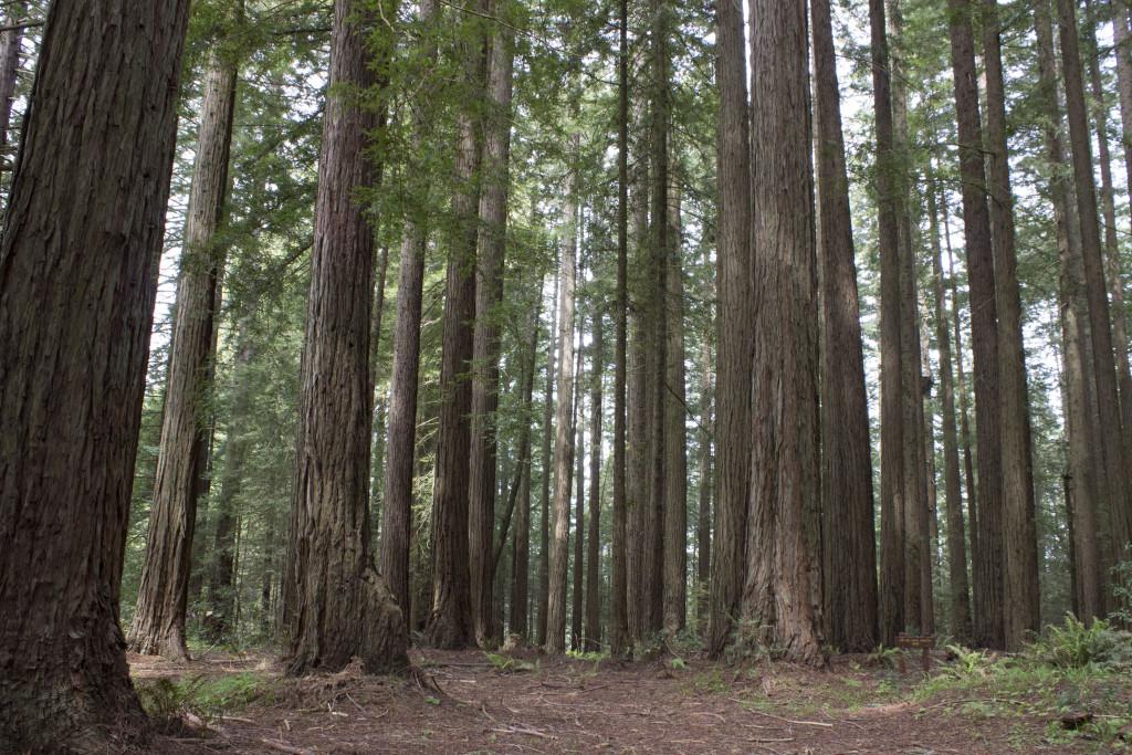 redwood_9